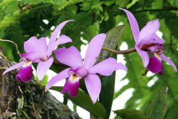 Amazonas-Flora