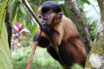 Amazonas Affenart