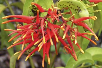 Amazonensische Flora